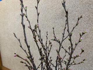 桜2021.jpg